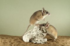 Two spiny mouses. In a spacious terrarium with a sandy bottom and a quaint piece of gypsum; one of them tensely peers into the distance stock photo