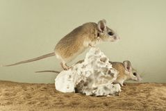 Two spiny mouses in a spacious terrarium with a sandy bottom and a quaint piece of gypsum. Two spiny mouses tensely looks into the distance, sitting in a Stock Image