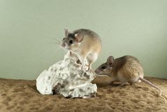 Two spiny mouses in a spacious terrarium. With a sandy bottom and a quaint piece of gypsum stock images