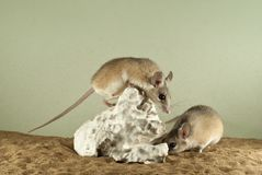 Two spiny mouses in a spacious terrarium. With a sandy bottom and a quaint piece of gypsum stock photos