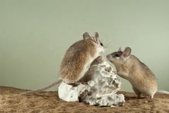 Two spiny mouses. In a spacious terrarium with a sandy bottom and a quaint piece of gypsum stock photos