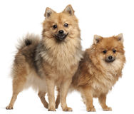 Two Spitz dogs, 1 year old. Standing in front of white background stock images