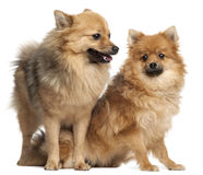 Two Spitz dogs, 1 year old stock image