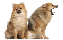 Two Spitz dogs, 1 year old, sitting Royalty Free Stock Image