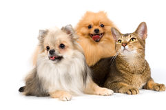 Two spitz-dogs and cat in studio. On a neutral background royalty free stock image