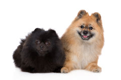 Two spitz dogs lying down on white Stock Photo