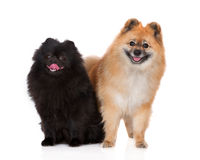 Two spitz dogs posing on white Royalty Free Stock Photography