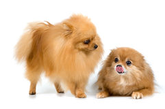Two spitz-dogs in studio Royalty Free Stock Image
