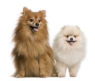 Two Spitz in front of white background Royalty Free Stock Photo