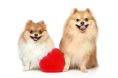 Two Spitz puppies in love Royalty Free Stock Photography