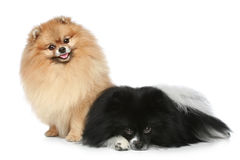 Two Spitz puppies resting on a white background Stock Images