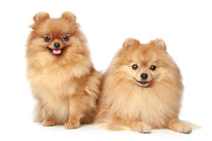 Two Spitz puppies on white background Stock Photo