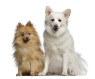 Two Spitz, 1 and 3 years old, sitting next to each other Stock Photography