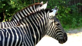 Two Splendid Striped Zebras Stand in a Zoo in Summer in Slow Motion. A Closeup of Two Wonderful Black and White Zebra Standing and Eating Food on the Land in a stock footage