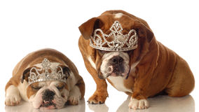 Two spoiled dogs Stock Image