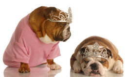 Two spoiled dogs. Spoiled dogs - two english bulldogs wearing tiaras stock images