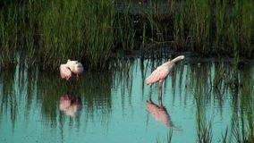 Two Spoonbills. In shallow water in the marsh stock video