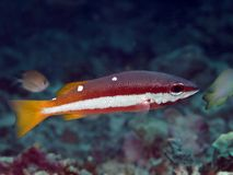Two-spot banded snapper Royalty Free Stock Image