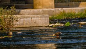 Two spot-billed ducks standing in shallow water. In a flowing river near a bridge pylon Stock Photography
