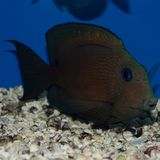 Two Spot Bristletooth Tang. The Two Spot Bristletooth Tang is a colorful orange-brown fish with blue lines. It also has blue spots on its head and 2 black spots Royalty Free Stock Images