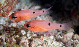 Two Spot Cardinalfish Stock Image