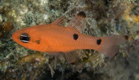 Two Spot Cardinalfish stock images