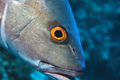Two-spot red snapper fish Royalty Free Stock Image
