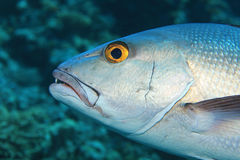 Two-spot red snapper fish Stock Image