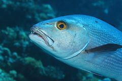 Two-spot red snapper fish Royalty Free Stock Photos