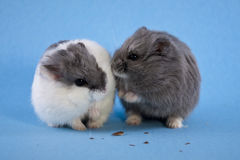 Two Spotted Blue Dwarf Hamsters Stock Image