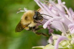 Two-spotted Bumble Bee - Bombus bimaculatus Stock Photo