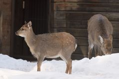 Two spotted deer on the snow. Cute little deer in winter in the snow in the aviary of the Novosibirsk zoo. Chestnut wool. Russia, 2019 stock images