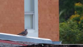 Two spotted dove on the roof stock video
