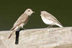 Two Spotted Flycatcher exchanging food. stock images