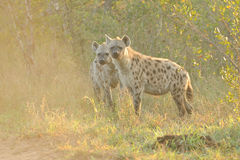 Two Spotted Hyena Stock Image