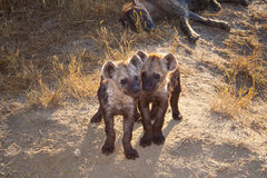 Two Spotted Hyena Cub with Mum Stock Image