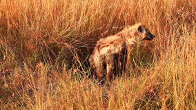 Two Spotted Hyenas, Masai Mara stock video footage