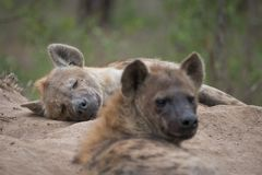Two spotted hyenas resting at the entrance to their den. A horizontal, colour image of two spotted hyenas, Crocuta crocuta, resting at the entrance to their stock photos