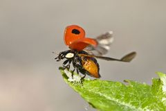 Two-Spotted Lady Beetle. Taking off with a snack with her Stock Photography
