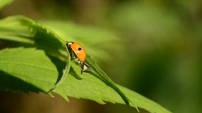 Two-spotted ladybird beetle unfolds and folds its wings stock video