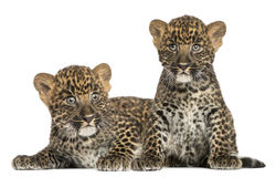 Two Spotted Leopard cubs lying down and sitting Royalty Free Stock Photos