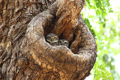 Two Spotted owlets Royalty Free Stock Photos