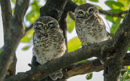 Two spotted owls. Spotted Owlet couple closeup shot in natural habitat Stock Photos