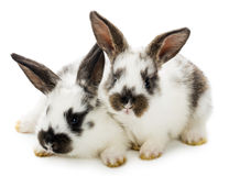 Two spotted rabbits Royalty Free Stock Photos