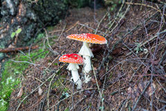 Two spotted toadstools in the woods Stock Photo