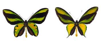 Two sppecies of birdwings Stock Images