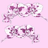 Two sprigs of flowering orchids on a pink background. Two sprigs of flowering orchids in purple tones on a pink background Stock Images
