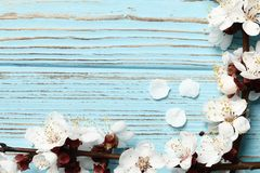 Two spring flowering branches with a lot of pink blossoms on blue wooden background royalty free stock photography