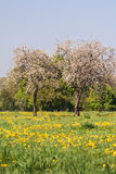Two spring fresh apple blooming trees on green grass with dandelions Royalty Free Stock Image