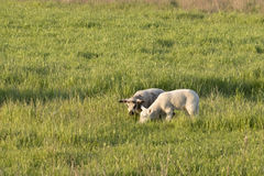 Two Spring Lambs Grazing. These two spring lambs are confident enough to wander a short distance from their mother. They are intent on eating the green grass of stock photos